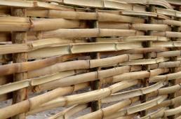 Bamboo Wattle